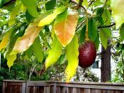 the avocado tree  next door