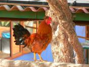 Gallo colorido  / Colourful rooster