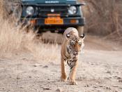 Luxury Tiger Tourism!