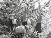 English: Picking apples in the old orchard in Kfar Masaryk עברית: קטיף תפוחים במטע הישן בכפר מסריק, Original Image Name:קטיף תפוחים במטע, נוסח הקרדיט:ארכיון כפר מסריק, Location:כפר מסריק