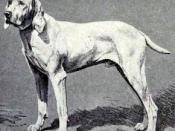 Pointer of Ariege from 1915