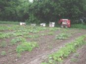 English: Placing honeybees for pumpkin pollination, Mowhawk Valley, NY