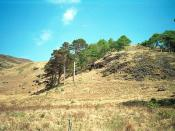 English: Isolated pine trees near Carsaig, Mull The weather had been unusually dry that spring. Much of the grass on the hillsides was brown.