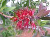 Callistemon comboynensis1