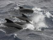 English: Long finned Pilot Whales in the Goban Spur, offshore Ireland.