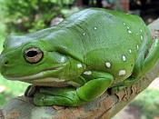 A Australian Green Tree Frog