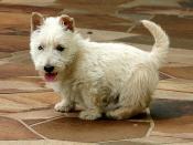 A white Scottish Terrier puppy