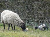 English: New Arrivals in the Shabden Valley I was just a few minutes too late to see the birth, but mother is washing her second lamb, whilst keeping an eye on her first one as it struggles to its feet.