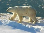 English: Polar Bear at Cape Churchill (Wapusk National Park, Manitoba, Canada)