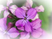 Honesty blossum