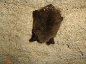 English: Myotis mystacinus in hibernation.
