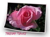 Una rosa en rosa