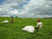 English: Teapickers near Kericho, Kenya.