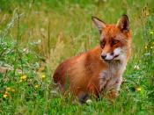 Red fox. Picture from Skandinavisk Dyrepark, Denmark Français : Renard roux Latina: Vulpes vulpes