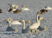 A group of Whooper Swans