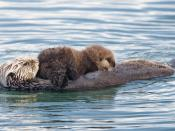 Sea otter (Enhydra lutris) mother with nursing pup in the Morro Bay harbor. Female sea otters have two abdominal nipples, and float on their backs to nurse their pups.