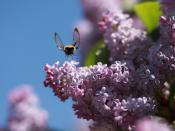 Blomstring, Syrin på Vines (Solheim)