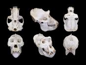 English: Western Gorilla Gorilla gorilla (Savage, 1847) - Male - Different views of the same specimen :: Locality : Gabon Haut-Ogooué Province Chakès ::Size : 26 × 23 × 18cm Français : Gorille de l'ouest Gorilla gorilla (Savage, 1847) - Mâle - Différentes