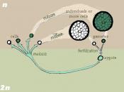 Zygotic life cycle.
