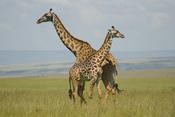 Giraffes (Giraffa camelopardalis), Masai Mara, Kenya