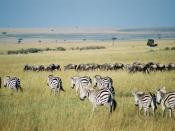 Gnus and zebras in the Maasai Mara park reserve in Kenya. Wildebeest and zebra migration in Masai Mara. Italiano: Migrazione di gnu e zebre nel Maasai Mara. Português: Zebras, gnus e cabras-de-leque em Masai Mara. Suomi: Gnuiden ja seeprojen vaellus Masai
