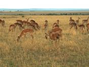 Impala at Masai Mara, Kenya