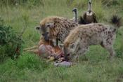 Spotted Hyenas, Crocuta crocuta, at carcass of an Impala, Aepyceros melampus, that they had stolen from a Cheetah, Acinonyx jubatus, at Masai Mara National Park, Kenya. See Image:Cheetah with impala kill.jpg and Image:Hyena arriving.jpg. The time stamp is
