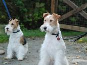 Two Wire haired Fox Terriers. Listed on Flickr as