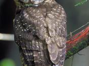 English: Northern Spotted Owl (Strix occidentalis caurina). Six Rivers National Forest, NW California http://www.flickr.com/photos/usfsregion5/3699675982/. Slovenčina: Sova sa v priebehu dejín stala symbolom múdrosti.