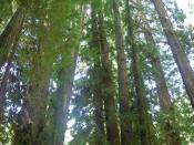 English: Redwood trees in Muir Woods National Monument, just outside San Francisco, California, United States.