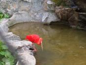 English: Scarlet Ibis photographed at the Belgrade Zoo.