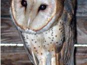 A barn owl in captivity.