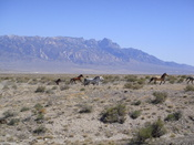 English: Wild horses run through Tule Valley, Utah. Notch Peak and the House Range in background.