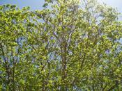 Platanus × hispanica leaves