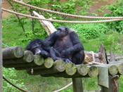 Chimpanzees in Mokomboso Valley exhibit at John Ball Zoo, in Grand Rapids, Michigan.