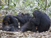 Deutsch: Eine Gruppe Schimpanse (Pan troglodytes schweinfurthii) beim gegenseitigen Lausen, Gombe Stream National Park