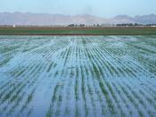 Level basin flood irrigation on wheat