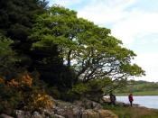 English: Shoreline Oak This oak has been blown down long ago, but has continued to grow upwards with several stems forming an intimate relationship with the shoreline boulders: http://www.geograph.org.uk/photo/1305530 And another view: http://www.geograph