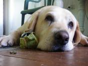 Cream - Seizure Alert Dog