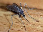 English: A female mosquito of the Culicidae family (Culiseta longiareolata). Size: about 10mm length Location: Lisbon region, Portugal Türkçe: Culiseta longiareolata türü dişi bir sivrisinek.