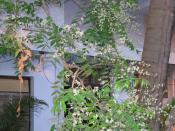 Neem flowers in closeup