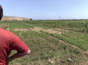 Nederlands: Zoute geïrrigeerde grond