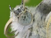 Description: The Small White (Pieris rapae) is a small to mid-sized butterfly species of the Yellows-and-Whites family Pieridae. It is also commonly known as the Small Cabbage White. The names