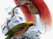 Goldie's Bird-of-paradise: Ornamented male above; female below. Paradesia decora by John Gerrard Keulemans (d.1912)