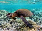 English: Green turtle swimming over coral reefs in Kona