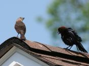 English: Brown-headed Cowbirds - courtship behavior. Jan Malik, 2007