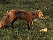 The red fox, Vulpes vulpes, is an important predator of adult crayfish.