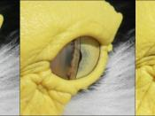 English: The blinking eye of a Masked Lapwing in Cairns, Queensland, Australia. The nictitating membrane closes from only one side, and is translucent. The eyelids themselves do not close during blinking, but do so for sleep. Français : Le clignement de l