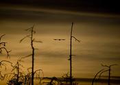 English: Flying bird at sunrise. Français : Oiseau volant au lever de soleil.
