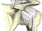 The left shoulder and acromioclavicular joints, and the proper ligaments of the scapula.